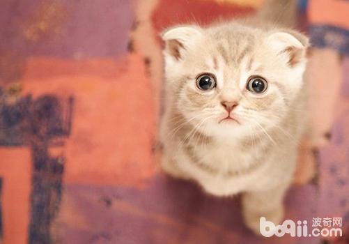 猫咪怀孕应预防猫咪流产-成猫饲养